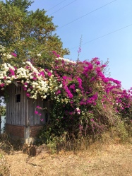 Bougainvillea shower